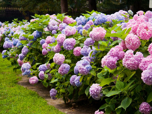 Colorful Bushes For Shade